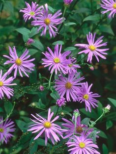 Aster is an herbaceous perennial that comes in a wide variety of colors. Its daisy-like flowers bloom in late summer and autumn in a sunny site.