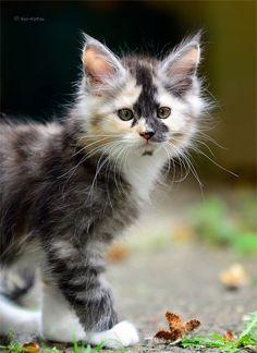♔ Motley kitten