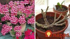 Krásne zakvitnuté muškáty vás budú tešiť aj o rok, musíte ich však správne zazimovať! Planter Pots, Gardening, Flowers, Lawn And Garden, Royal Icing Flowers, Flower, Florals, Floral, Horticulture