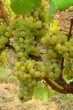 Sauvignon Blanc is widely grown in California -- at over 15,000 acres, it's now the third most planted variety -- and often assumes the moniker 'Fume Blanc'. This popular synonym, credited to Napa's Robert Mondavi, derives from the grape's historic home of Pouilly in France's Upper Loire Valley, where Sauvignon Blanc is the dominant varietal and goes locally by the name of 'Blanc Fumé'.  http://www.snooth.com