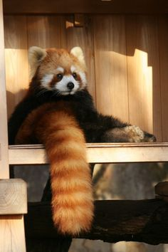 I believe this is a Lesser Panda. Not sure, but I do know it's very cute and beautiful.