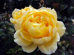 Englische Rose Charlotte ® Auspoly ® Züchter David Austin 1994