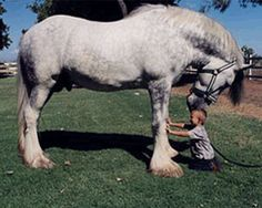 Shire horses on average tend to be the tallest and heaviest of all draft breeds