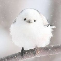 Super Cute Animals, Cute Baby Animals, Animals And Pets, Kinds Of Birds, Cute Animal Drawings, Mundo Animal, Fluffy Animals, Cute Birds, Little Birds