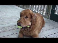 "Golden Video of The Week - Nov 25, 2012 Golden Retriever Dog ""Brunson"" and his Amazing Tennis Balls (4)"