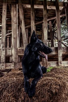 German Shepherd Dog named Forrest