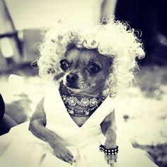 Marilyn Chihuahua via Famous Chihuahua