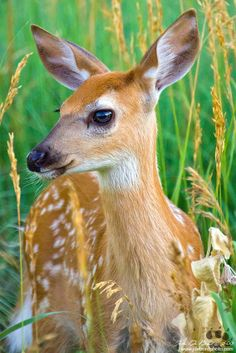 A young White-tailed deer fawn meanders through the wetlands are of Rocky Mountain Arsenal Nation Wildlife Refuge in Colorado Whitetail Deer Pictures, Deer Photos, Cute Funny Animals, Cute Baby Animals, Animals And Pets, Majestic Animals, Animals Beautiful, Bambi, Baby Deer