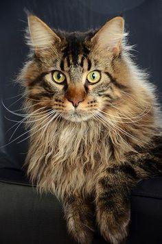 Maine Coon Cat - Pip portrait