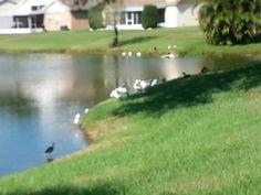 Long Beak Water Bird and Ducks
