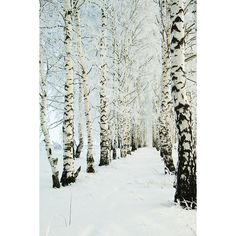 Birches in Snow ❤ liked on Polyvore featuring backgrounds, frames & background, pictures and winter