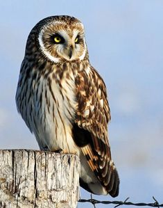 Short-eared owl. Endangered in Michigan. ~ protecting our national heritage is a necessity!!! we lose creatures of such basic beauty, & we lose ourselves! #birdwatchingtips