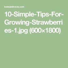 10-Simple-Tips-For-Growing-Strawberries-1.jpg (600×1800)