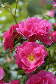 Easy Care rose Flower Carpet Pink blooms non-stop all summer long.