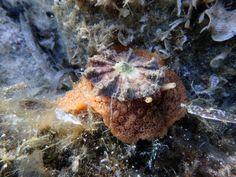 Umbraculum, king of sea slug with a hat!