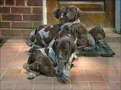 Oh my...so many cute GSP puppies!