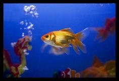 swimming alone yellow fish Pretty Fish, Yellow Fish, Digital Photography School, Sea Fish, Pet Grooming, Goldfish, Under The Sea, Your Pet, Pets