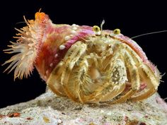 Anemone and Hermit Crab    Photograph by Darlyne A. Murawski, National Geographic    Some anemones piggyback on the shells of hermit crabs. The maneuver is mutually beneficial: The anemones get a mobile, competition-free surface on which to perch and pick up scraps, and the crabs get an effective camouflage and protection provided by the sea anemone's toxic tentacles.