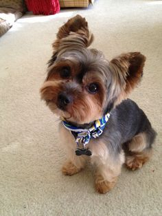 Yorkie Names, Puppies And Kitties, Yorkie Puppy, Cute Puppies, Cute Dogs, Yorshire Terrier, Terrier Breeds, Animals Kissing, Cute Baby Animals