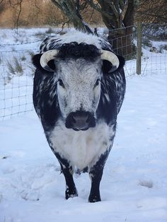 Hereford Snow Cow