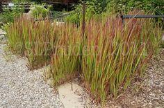 Japanese Blood Grass 'Rubra' (Imperata cylindrica)