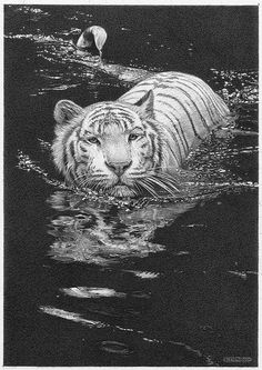 'Cool Waters' - White Tiger - Fine Art Pencil Drawings www.drawntonature.co.uk by kjhayler, via Flickr