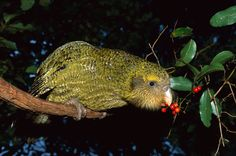 Flightless Parrot, Kakapo Parrot, Ugly Animals, Cute Animals, Animals Amazing, Farm Animals, Blobfish, Cod Fish, Budgies