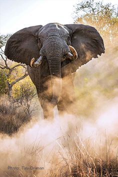 Elephants normally stand or move about with eyes cast down. With eye wide open the elephant means: I've got you in my sights, so watch it! Elephant Meaning, Elephant Sanctuary, African Elephant, Stand Tall, Elephants, South Africa, Eyes, Watch, Decor