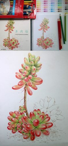 【绘画教程】新开了一朵牡丹~多肉的小植物个人彩铅汇总帖