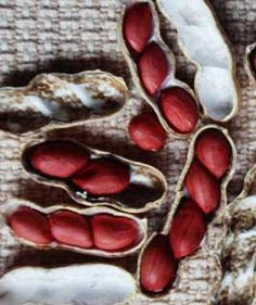 Peanut seeds - grow your own peanuts this great article from GrowVeg shows you how...