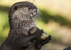 Slightly dazed otter carries a shell - October 27, 2015