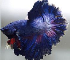 fwbettashm1483779002 - ***Blue-Dragon-Rosetail***HM-Male***