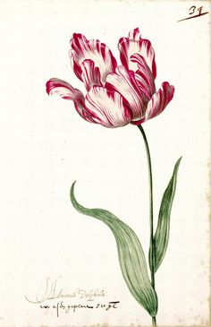 """Great Tulip Book: Admirael Delphius"". In 17th century Holland tulips were a costly and prestigious collector's item. Bulb merchants commissioned artists to create albums of watercolors depicting the various tulip bulbs available for sale."