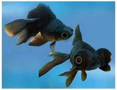 20 Types of Goldfish for Aquarium (Oranda, Shubunkin, Bubble Eye, Etc) Goldfish For Sale, Black Goldfish, Goldfish Types, Aquarium Fish For Sale, Goldfish Aquarium, Goldfish Plant, Aquarium Ideas, Oranda Goldfish, Veiltail Goldfish