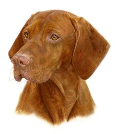 Dogs in Art at the StockBridge Gallery - Vizsla Portrait by Laura Hardie, Portraiture Sample Not for Sale (http://www.dogsinart.com/products/Vizsla-Portrait-by-Laura-Hardie.html)