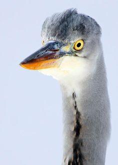 Grey heron. 52 Wildlife Weekends www.bradtguides.com