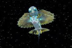 Credit: Michele Davino/Barcroft Media 'Thanks to Keri' - Juvenile flying fish in Raja Ampat, Indonesia