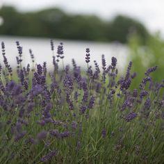 Ellagance Purple-Lavender
