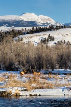 Two bull elk pause from grazing along the Gros Ventre River below the Sleeping Indian, Grand Teton National Park, Wyoming.