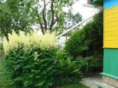 My garden. Blossoms aruncus.