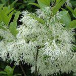 Śniegowiec wirginijski - najskuteczniejsze zioło w leczeniu wątroby