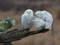 """Owl on right: """"Boo! Where ya scared?"""" Owl on left: """"*sigh* Brian, why are we friends? Funny Owls, Funny Animals, Cute Animals, Animal Captions, Photo Animaliere, Owl Pictures, Beautiful Owl, Tier Fotos, Snowy Owl"""