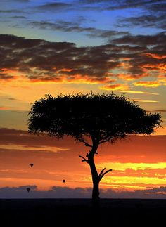 ✯ Africa - Dawn on the Maasai Mara Game Reserve with silhouetted Acacia tree and hot air ballons, Kenya, Africa