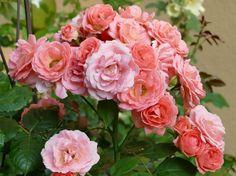 Rózsaszaporítás szárdugványról, ha nem ismered a módját