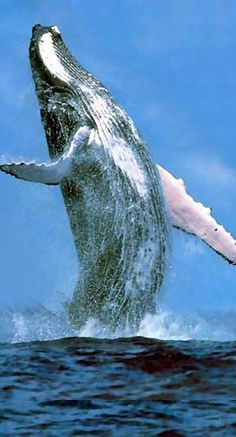 Humpback Whale breaching. Magnificence!