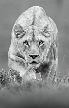 28 inspirational ideas for black and white photography animals lion Beautiful Creatures, Animals Beautiful, Chat Lion, Animals And Pets, Cute Animals, Wild Animals, Gato Grande, Lion Cat, Lion Love