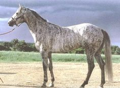 """""""Reckless Dan,"""" as pictured at a brindle site.  The color values between the photos are very different, and I do not know which is accurate.  I suspect the lighter photo, since it is only one step away from the breeders themselves.  Brindle gray quarter horse."""