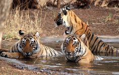 SAVE OUR TIGERS ~ Newsy Take