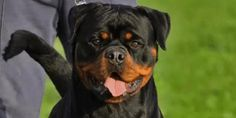 Rottweiler Saves Boy From Severe Pit Bull Attack Near Orlando