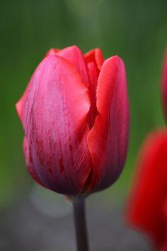 Triump Tulip, Couleur Cardinal